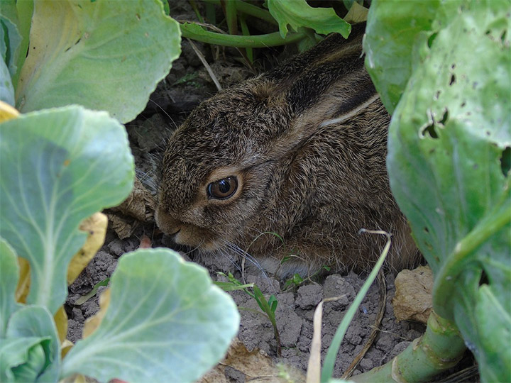 Rabbit in your garden