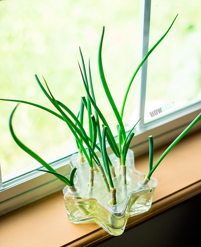 Green onions after 14-days