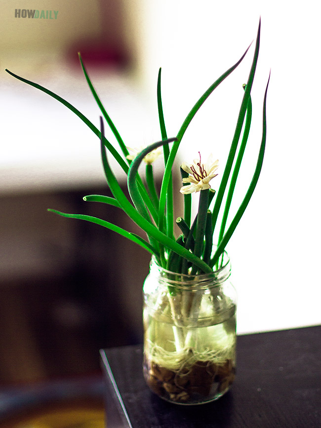Planting green onions in a cup