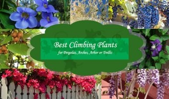 14 Best Climbing Plants for Pergolas, Arches, Arbor or Trellis