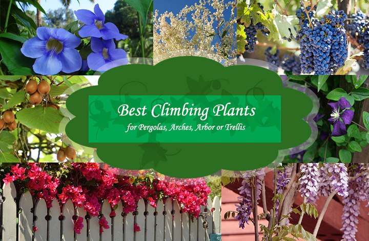 - 14 Best Climbing Plants For Pergolas, Arches, Arbor Or Trellis