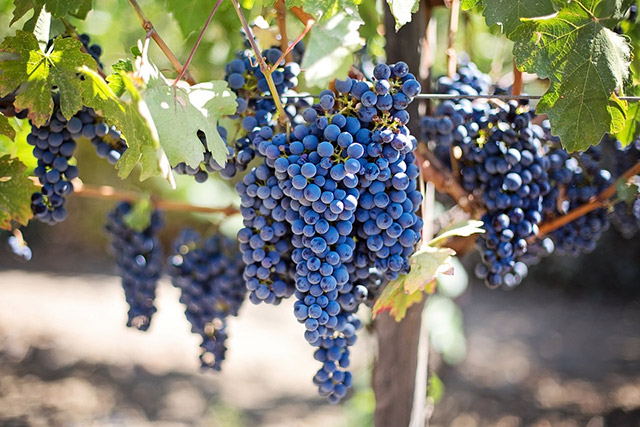 Grapes not only produce an abundance of fruit when they're properly  cultivated, but they're also one of the better climbing plants for shade. - 14 Best Climbing Plants For Pergolas, Arches, Arbor Or Trellis