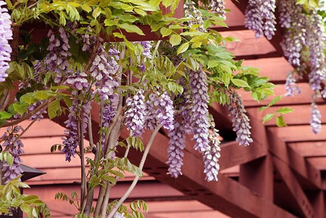 14 Best Climbing Plants For Pergolas Arches Arbor Or Trellis