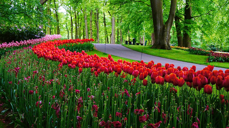 How To Plant Tulips Timing Growing